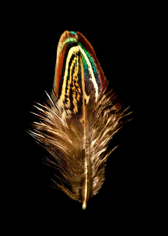 Ring-Necked Pheasant Feather Portrait Photography Print 5x7,8x10,11x14
