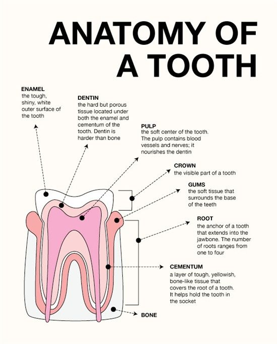 Anatomy of a tooth:  Enamel: the tough, shiny, white outer surface of the tooth Dentin: the hard but porous tissue located under both the enamel and the cementum of the tooth. Dentin is harder than bone! Pulp: the soft center of the tooth. The pulp contains blood vessels and nerves; it nourishes the dentin Crown: the visible part of the tooth Gums: the soft tissue that surrounds the base of the teeth Root: the anchor of a tooth that extends into the jawbone