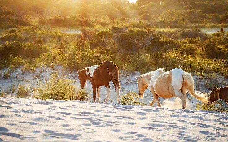 A Guide to Vacationing on Assateague Island, near Ocean City, MD #ocmd
