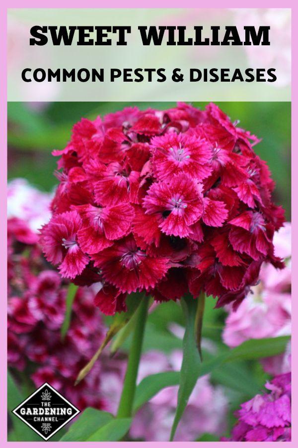 Sweet William Pests And Diseases Gardening Channel Sweet William Sweet William Flowers Organic Raised Garden Beds