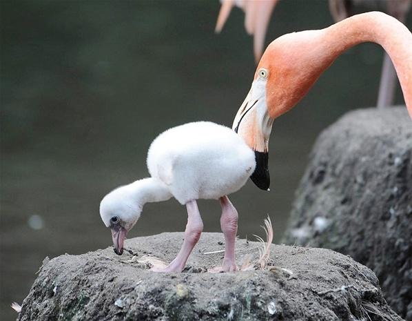 Flamingo bebê (© Reuters)