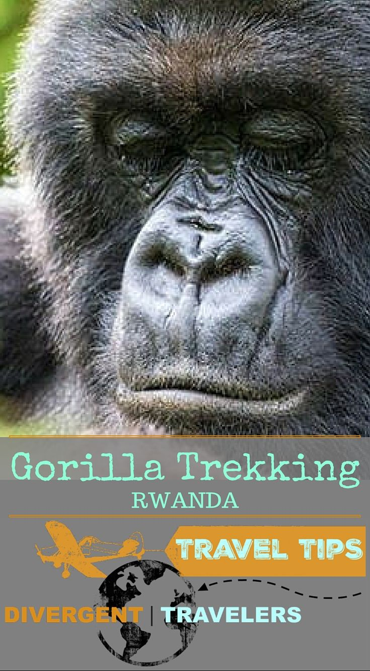 Gorilla Trekking Rwanda Africa. It goes without saying that almost any adventurer you meet will have a dream to take on the mountains of Africa in search of the Mountain Gorillas. It's a dream trip and a thrilling endeavor for any traveler. Having trekked to the Susa group, the hardest group to reach in Volcano National Park Rwanda, we are prepared to help you: http://www.divergenttravelers.com/preparation-guide-gorilla-trekking-africa/