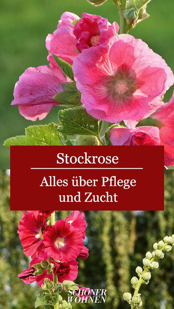 Stockrosen Pflanzen Pflegen Mehr In 2020 Stockrosen Stockrosen Pflanzen Pflanzen