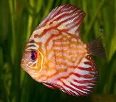 Resultado de imagem para peixes exoticos