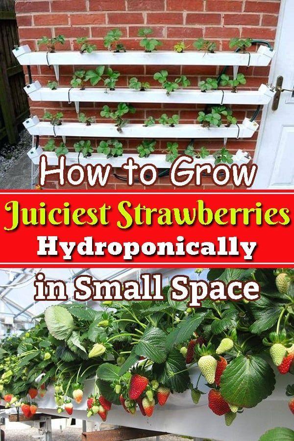How To Grow Juiciest Strawberries Hydroponically In Small Space Grow Hydroponically In 2020 Growing Strawberries Indoors Hydroponic Strawberries Growing Strawberries