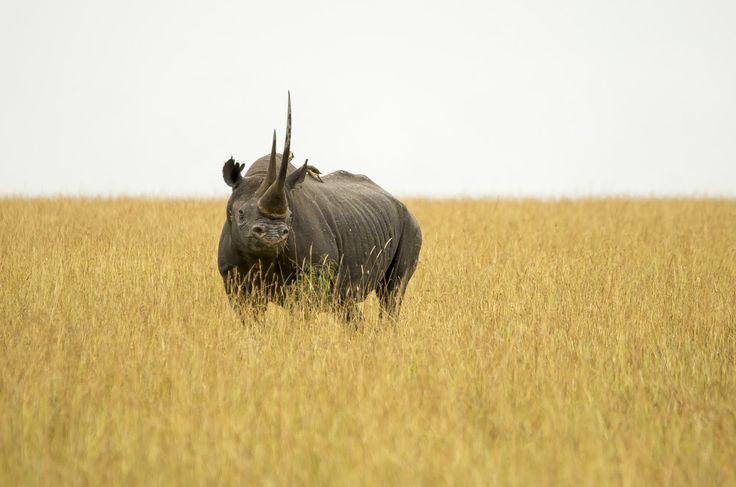 Amerikanska veteraner skyddar noshörningar från tjuvjägare | Natursidan