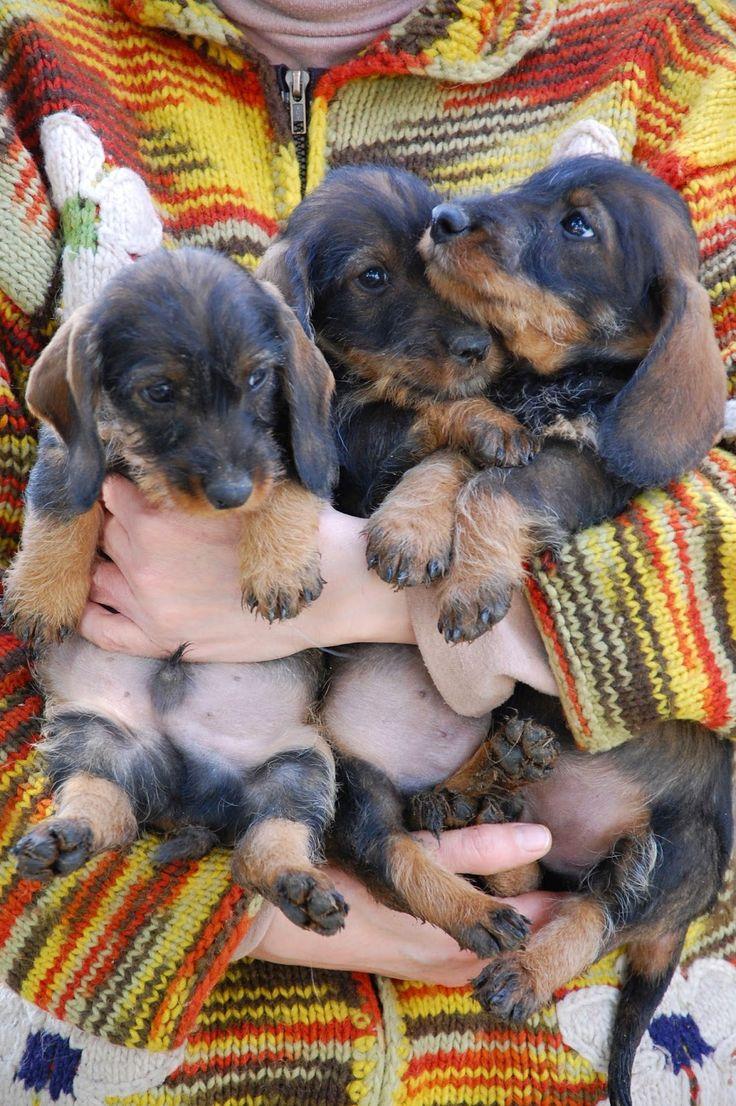 i nostri cuccioli di bassotto su http://ottorinoilgrande.blogspot.it #cuccioli #bassotti #puppies