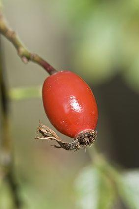 Al fruto del rosal silvestre se le conoce como escaramujo, el cual tiene muchas propiedades beneficiosas para la piel y es considerado we¡entre las plantas medicinales o remedios naturales. Se le c…