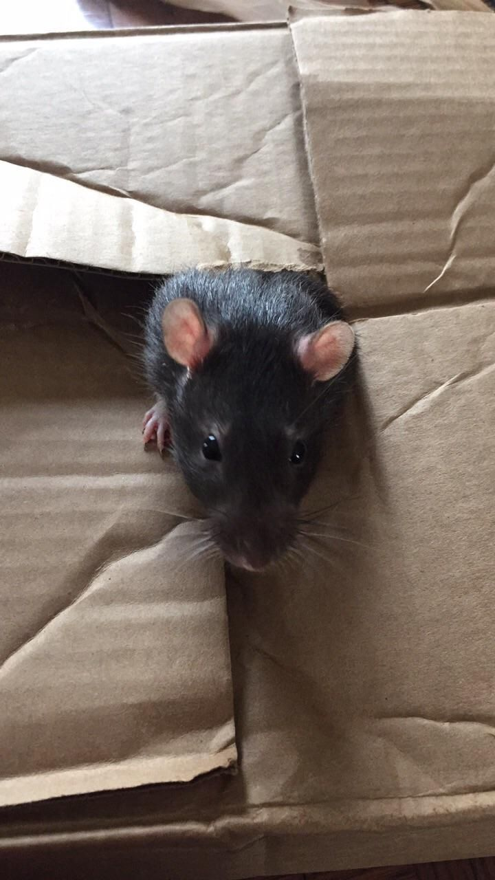 Well I went to the store for a new igloo and came back with Ted the Clearance Rat. He's probably over a year old and was being horribly bullied by all the younger boys he was housed with. He's a bit ugly but so sweet. I lucked out for $1. #aww #cute #rat #cuterats #ratsofpinterest #cuddle #fluffy #animals #pets #bestfriend #ittssofluffy #boopthesnoot