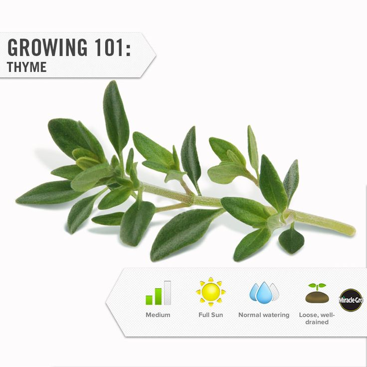 Learn how to grow thyme in your herb garden. #Projects #DIY #Gardening