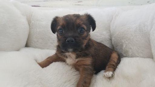 Shorkie Tzu puppy for sale in LA MIRADA, CA. ADN-65872 on PuppyFinder.com Gender: Female. Age: 8 Weeks Old