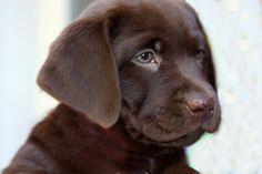 Barefoot Labradors of Killingworth | Chocolate Lab Puppies ...