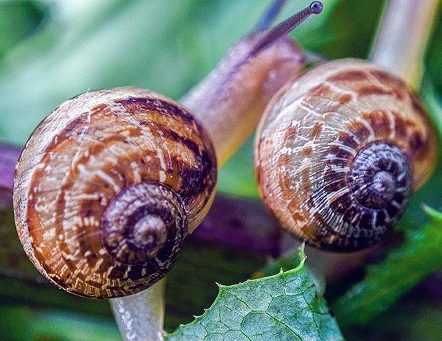 No importa la situación, tampoco las circunstancias, siempre tendrás a alguien a tu lado. PH: @hayrflorez  #nature #naturaleza #love #loveinsects #caracoles #caracol #caracolesdecolores #photographylovers #photographyoftheday #photographynature #designature #macrophotography #espiral #proporcionaurea #snail #seashell #snails #compocision #macro #instagood #instamoment #instalike #conchadecaracol #colombia #naturalbeauty #natural Natural Beauty from BEAUT.E