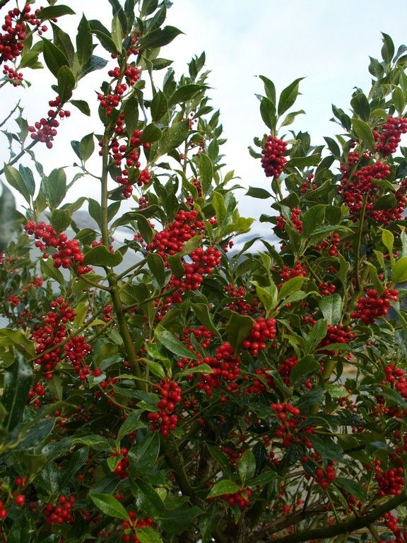 Ilex. Holly. They self seed and grow vigorously in our garden, orchard and forest. November 15th 2015