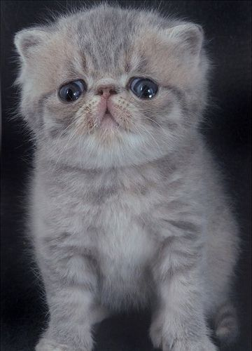 Blue cream tabby Exotic shorthair kitten aged 4 weeks by Chris, via Flickr
