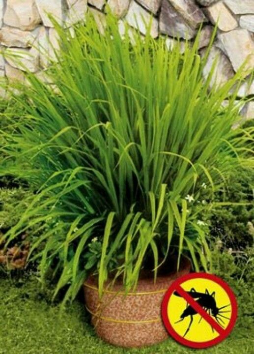 Lemon grass repels mosquitoes