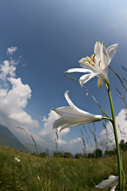 narcisi al sole. Oasi Zegna, Biella.  #Piemonte #Italy  www.oasizegna.com