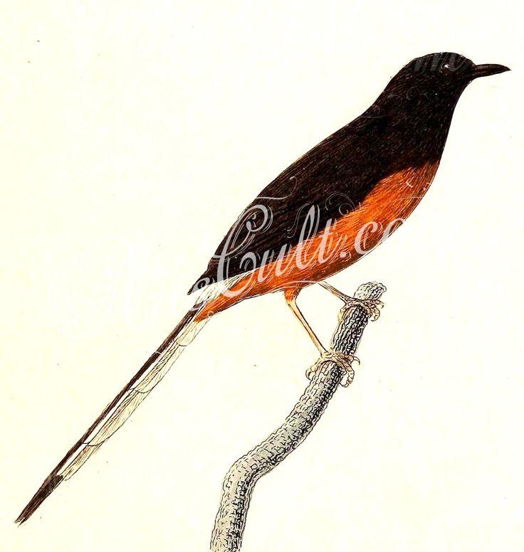 Copsychus malabaricus 1832   ...