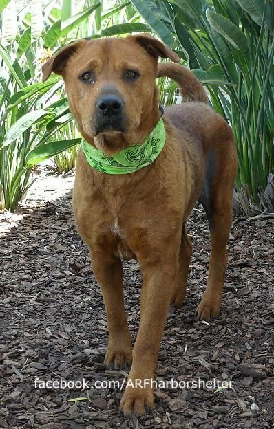 5/28/18 SAN PEDRO, CA Red is a handsome senior gent who is a bit reserved, though he is friendly with those he knows. He was surrendered to the shelter with his lady friend Missy (A1113384) because their family could no longer care for them. Red has an old skin condition, Missy is Medical Alerted due to a weak hind end; & they are no longer kenneled together. Red's hobbies include walking around, taking treats & watching the clouds roll by He'd love to have a soft bed to call his own. Please…