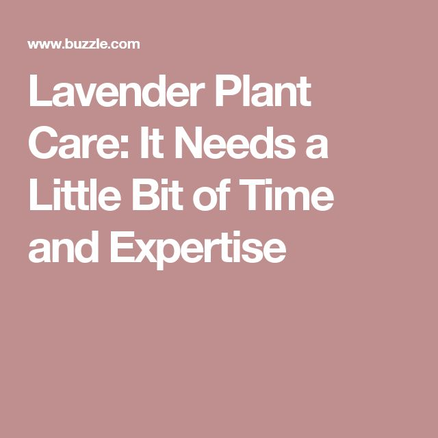 Lavender Plant Care: It Needs a Little Bit of Time and Expertise