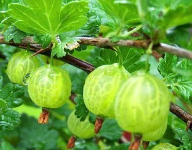 Pixwell Gooseberry Pale Green Fruit Turns Pink As It