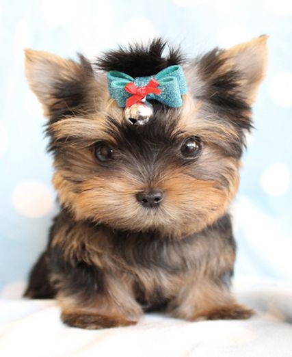 Cutie Teacup Yorkie from TeaCups Puppies in South Florida!