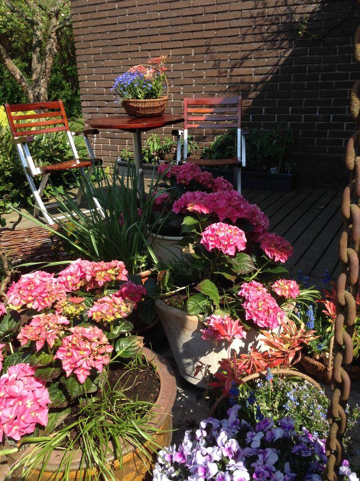 Lovely Hortensia early Summer