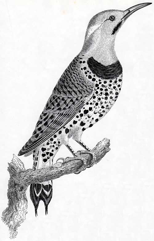 17 Best Images About Flicker Birds On Pinterest Feather