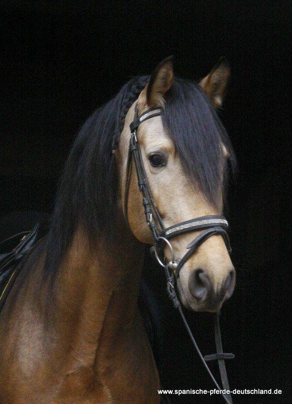 Novato la Reina    Spanische Pferde Deutschland in Traventhal UG
