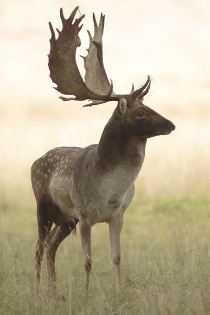 Fallow Deer stag. Native to Europe but have introduced to other places including South Africa & Argentina.