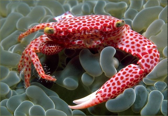 Beautiful spotted coral crab: Sea Life, Polka Dots, Sea Creatures, Coral Crabs, Red Spots, Underwater World, Seacreatur, Animal, Spots Coral