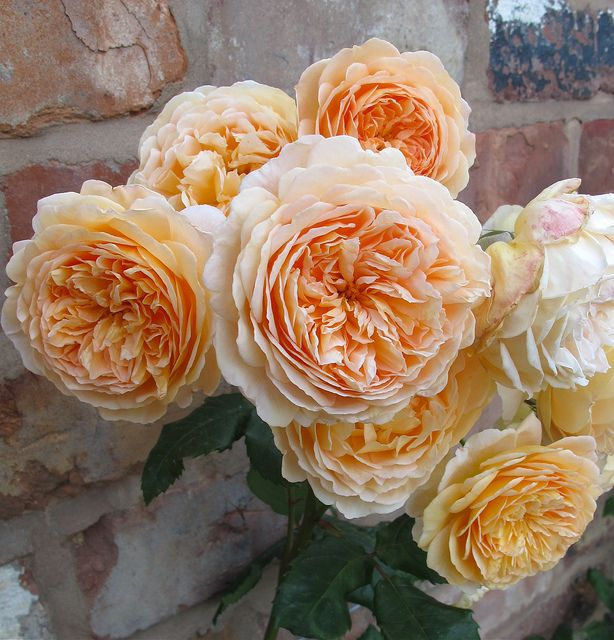 'Crown Princess Margareta' (1991) David Austin rose | via Susan R