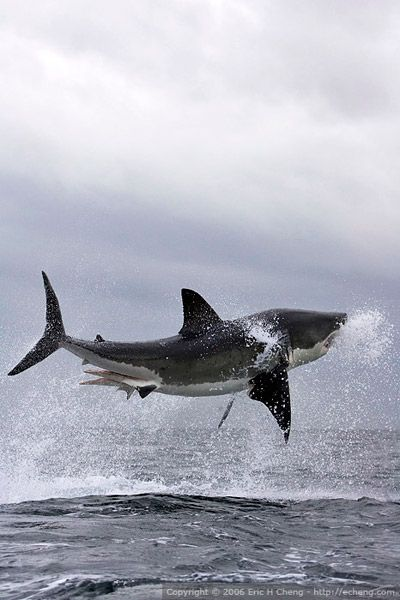 Surprise ! A great white shark breach, False Bay, Simonstown. South Africa, you always get more than you bargain for !