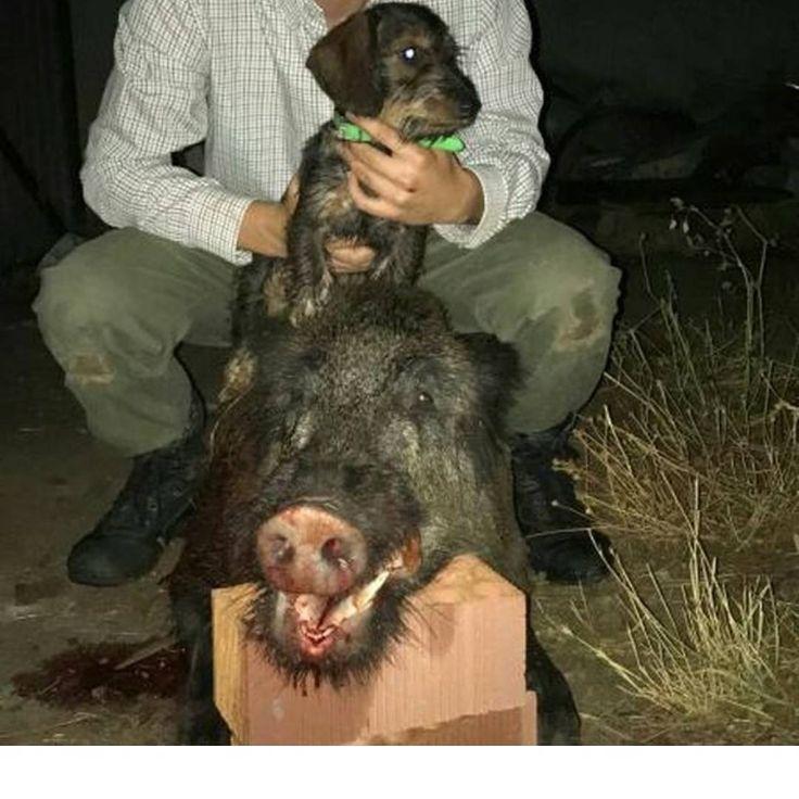 Otro barraco que nos envía @adrinieto_97 tras una muy buena actuación de su perro. ENHORABUENA!! Podéis enviarme vuestras fotos por Direct y yo las iré subiendo.  #caza #jabali #hunt #wildboard http://misstagram.com/ipost/1546321606628174638/?code=BV1o073lWsu