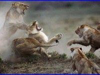 Lion Fight Wallpaper 792 Download