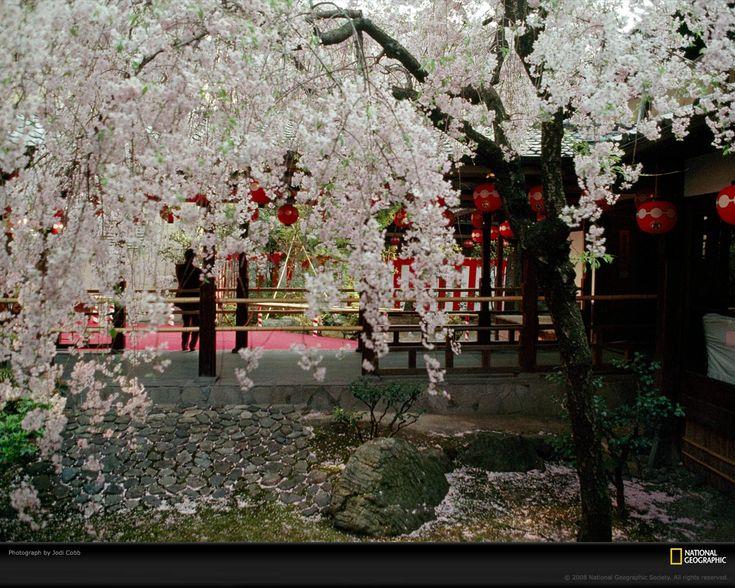 cherry blossom japanese gardenszen - Japanese Garden Cherry Blossom Paintings