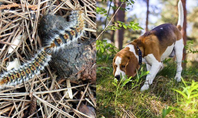 Procesionaria del pino, peligro para perros