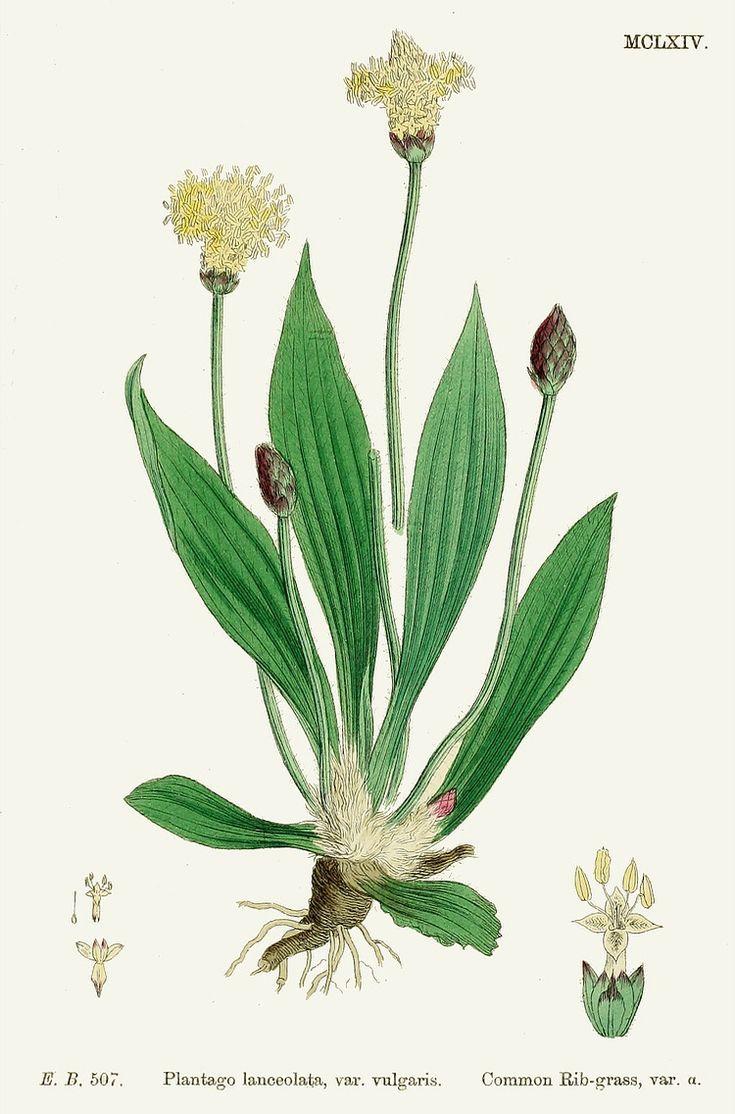 Piantaggine Plantago Lanceolata Contenuto In Mucillagini Estratto Da Pianta Fresca Azione Antistamini Rimedi Naturali Illustrazione Botanica Disegno Botanico