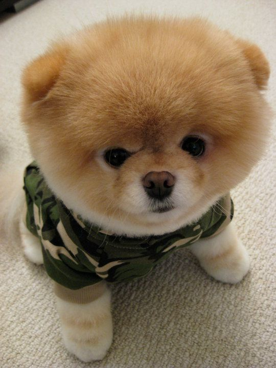 Most Inspiring Pomeranian Brown Adorable Dog - 09a36312592a08a68cd196e2f5234647--cutest-dogs-boo-the-cutest-dog  Perfect Image Reference_421171  .jpg
