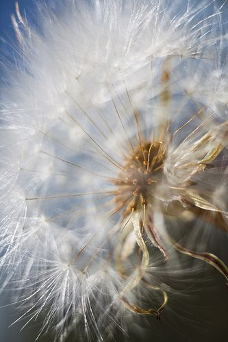 """""""In life we're like the dandelion, having but one choice: Let go and flow on the wind, or simply don't."""""""