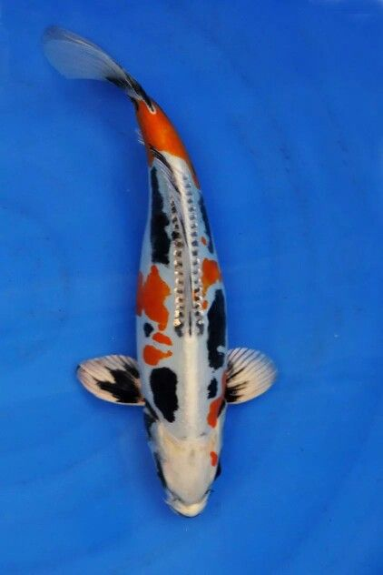 387 best images about fish on pinterest japanese koi for Carpe koi b