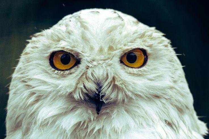 Harry potter owl close up :-) photo by Frida Bredesen (@fridooh) on Unsplash