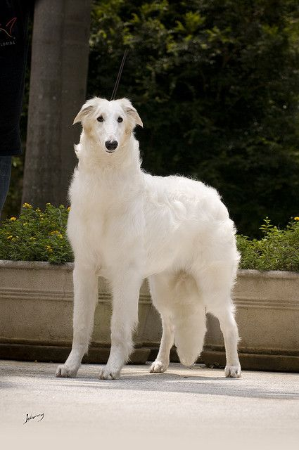 The Borzoi. Also known as the Russian Wolfhound this sighthound breed was brought to Russia from central Asian countries & is a quiet, but athletic & independent dog.