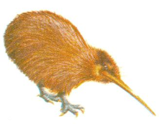 The kiwi - New Zealand facts for kids