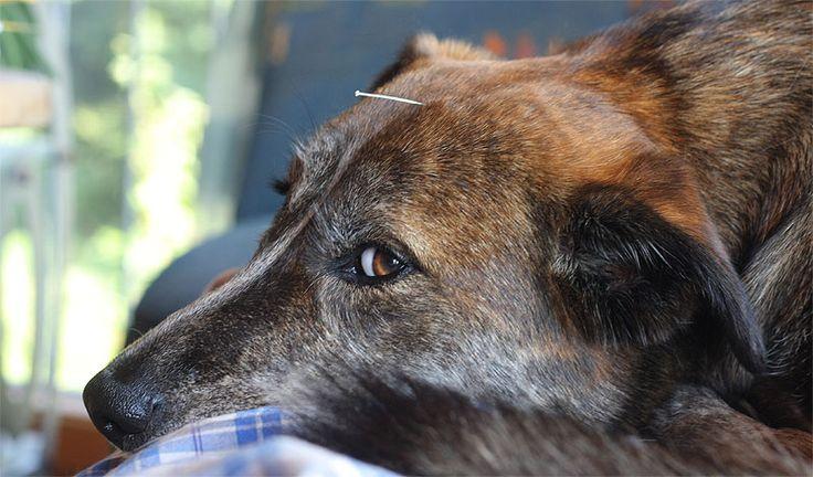 Tierakupunktur - Dog acupuncture