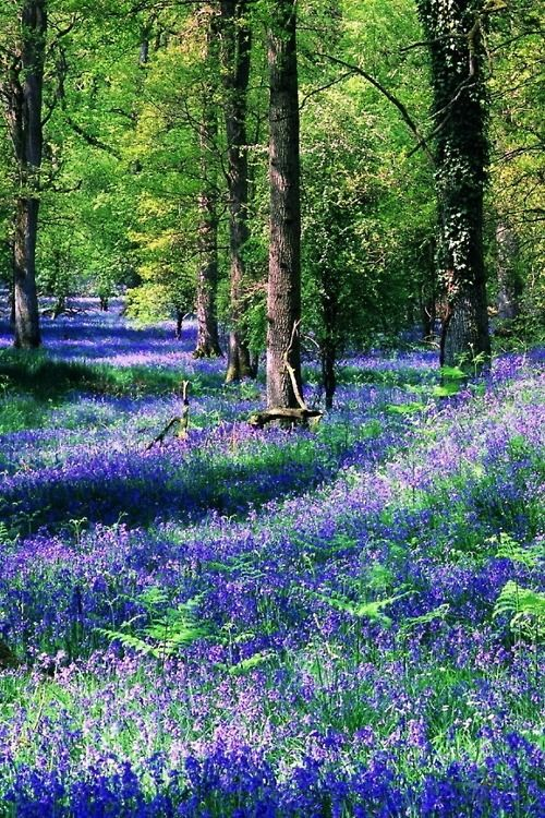 What a great way to spend a sunny spring day - walking through a beautiful bluebell forest like this one.