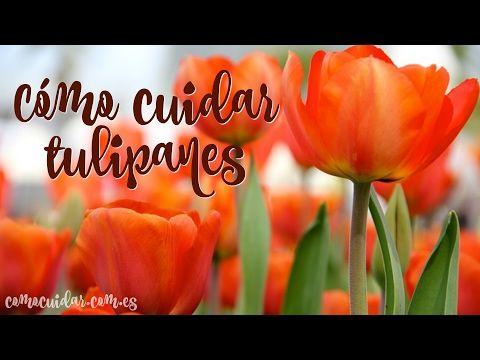 Cómo cuidar tulipanes paso a paso - YouTube