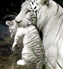 White Tigers:    Only the bengal tigers and siberian tigers are known the produce white tigers, both parents must carry a specific gene in order for a white tiger to be produced. White tigers can have stripes that are anywhere from a black to a light tan color. In fact the snow tigers are the same as white tigers but are just set aside as being different from them because they have less stripes and or less visable stripes.