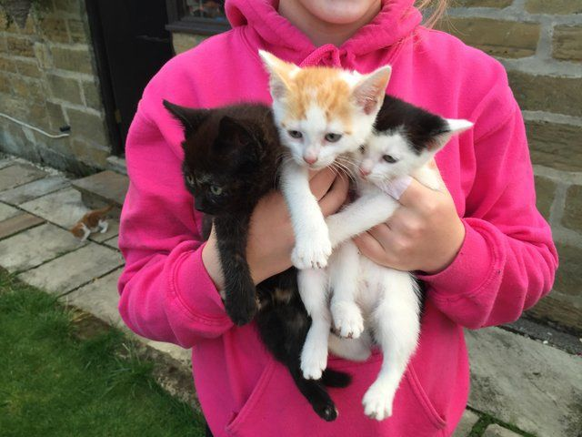 8 Week Old Kittens Looking For 5 Homes For Sale In Northallerton With Images Kittens Cats And Kittens Cats