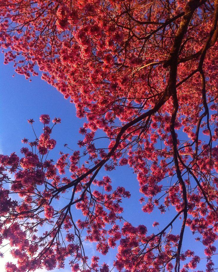 Ahhhh, os dias de inverno..! 🌸💙🌸 \ Winter days! 💙 #ipê #tree #flowers #winterdays (em Maringá-Pr)
